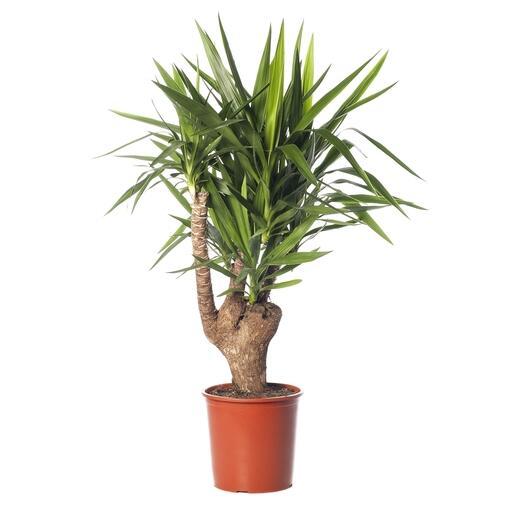 Grote kamerplant 8 -De Yucca Elephantipes