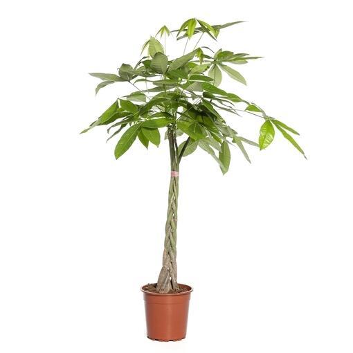 Grote kamerplant 9 -De Pachira Aquatica