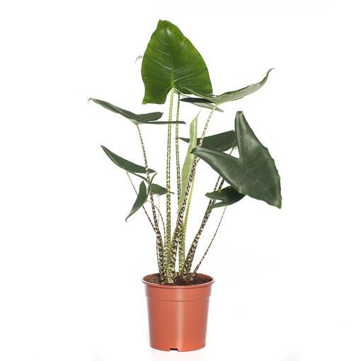 Grote kamerplant 10 -De Alocasia Zebrina