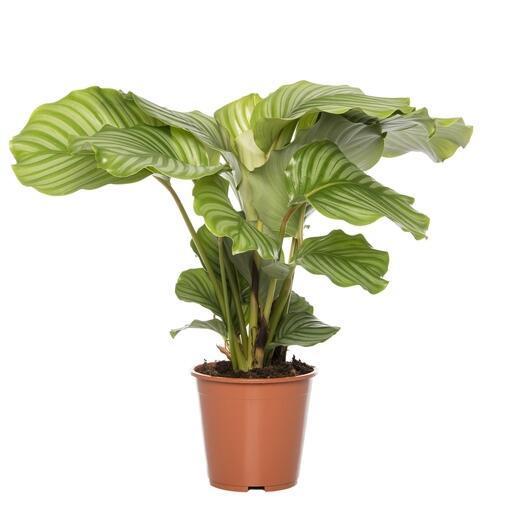 Grote kamerplant 1 -De Calathea Orbifolia