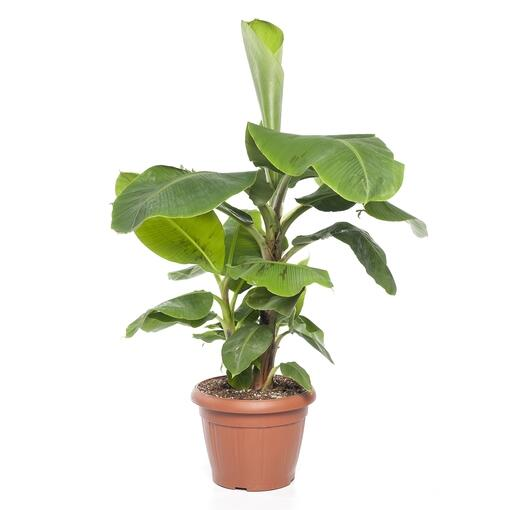 Grote kamerplant 3 - De Musa Dwarf