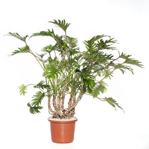Grote kamerplant 7 -De Philodendron Xanadu