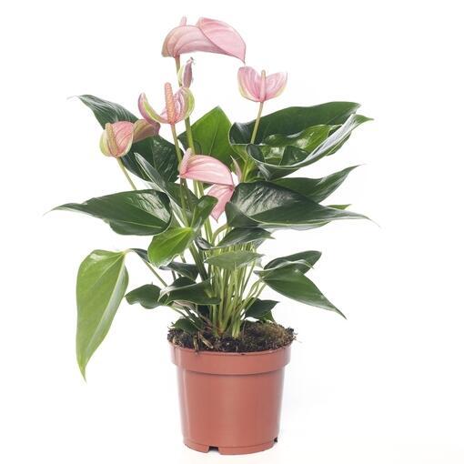 Grote kamerplant 2 - De Anthurium Andreanum