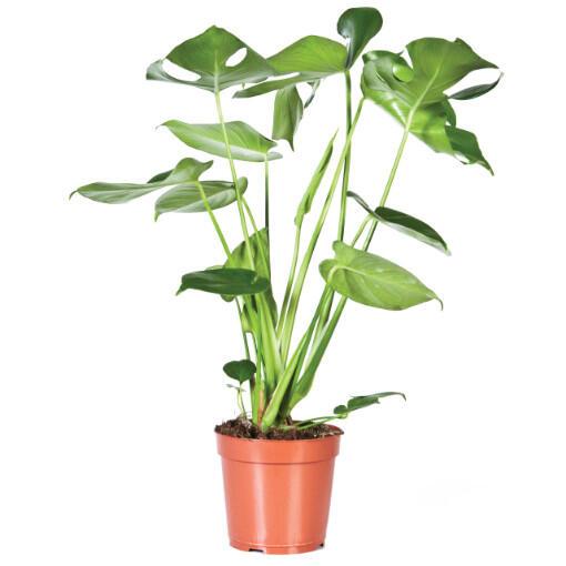 cc: Stolkpotplanten