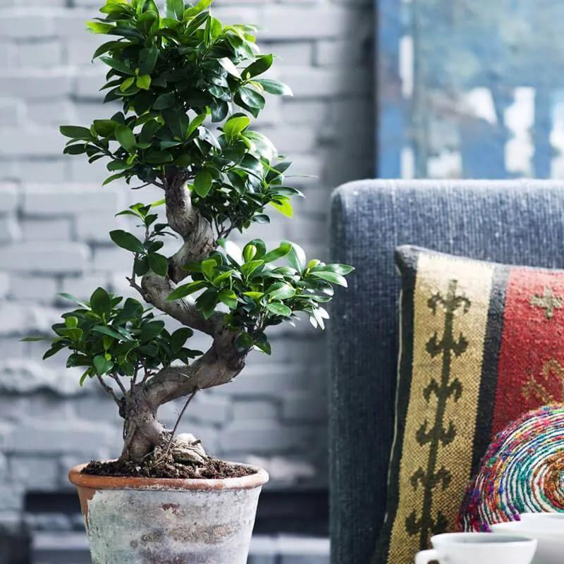 Japanse Bonsai