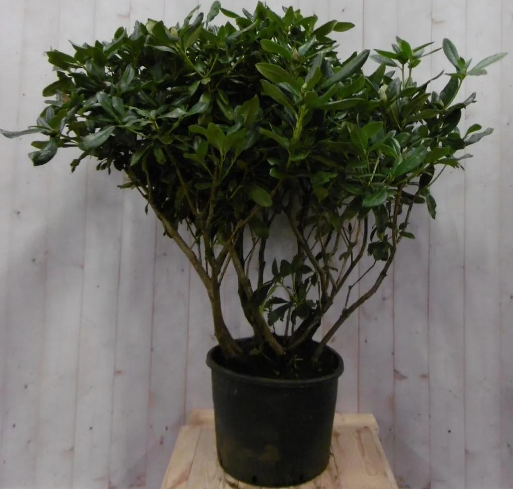 Rododendron 120 cm rood