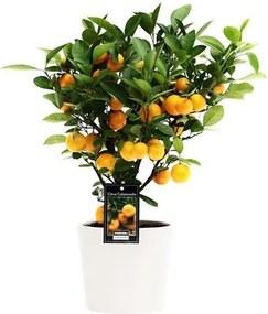 Mandarijnboompje (45cm) - Bloomgift