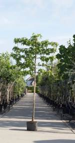 Amberboom als leiboom Liquidambar styraciflua h 270 cm st. omtrek 8 cm st. h 150 cm