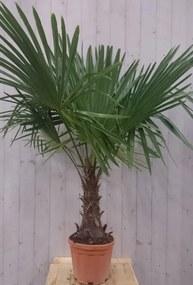 Winterharde Palmboom stamhoogte 30 cm en hoogte 150 cm Warentuin Natuurlijk