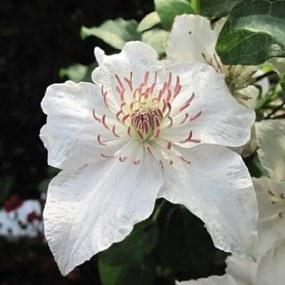 Clematis Deastiny: 3 halen/2 betalen - Klimplant wit Klimplanten van