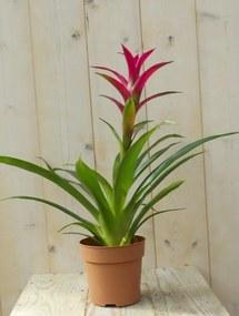 Bromelia donkerroze 30 cm
