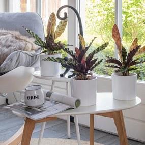 Set van 3 - Pauwenplant 'Calathea Insignis' Sierpot: Geen, Plantenvoeding: Zonder plantenvoeding