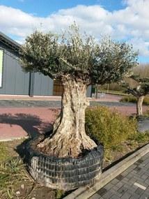 Reuze Olijfboom Olea 300 cm XXXL