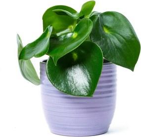 Pannenkoekplant (20cm) - Bloomgift