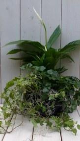 Klimop bont groen met lepelplant zwarte schaal 40 cm