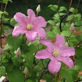 Clematis Comtesse de Bouchaud - Klimplant rose Klimplanten van
