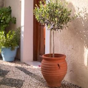 Grote Olijfboom 'Olea Europaea' op stam Zonder plantenvoeding