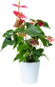 Anthurium Kamerplant Roze (55cm) - Bloomgift