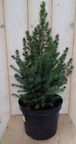 Conifeer Picea 30 cm