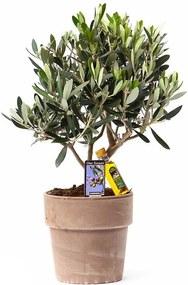 Olijfboompje Olea (40cm) - Bloomgift