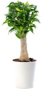 Ficus Natasja (35cm) - Bloomgift