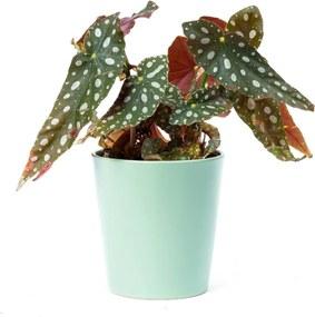 Stippenplant (33cm) - Bloomgift