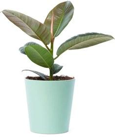 Ficus Robusta (30cm) - Bloomgift