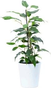 Ficus Danielle (40cm) - Bloomgift
