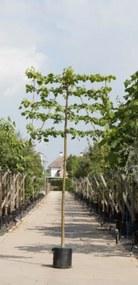 Linde als leiboom Tillia europaea Pallida h 300 cm st. omtrek 12 cm st. h 180 cm