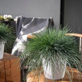 Siergras Festuca Glauca accessoire: geen sierpot, plantenvoeding: zonder plantenvoeding