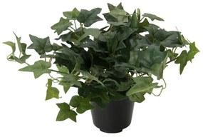Klimop plant