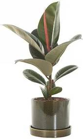 Ficus Elastica incl. deep forest pot