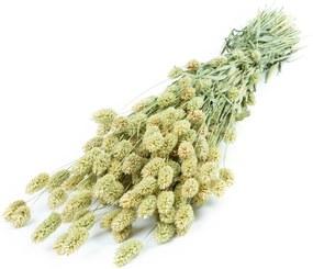Phalaris Naturel (30st) - Bloomgift