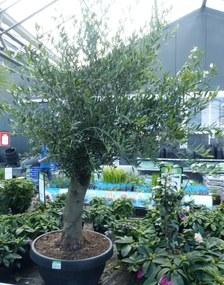 Olijfboom Olea 150 cm Redelijk Dikke Stam