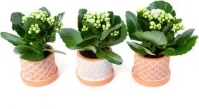 Kalanchoë Wit Mini Per 3 (15cm) - Bloomgift