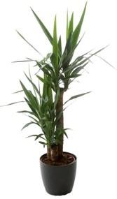 Kamerplant - Yucca - 90-45-20 - inclusief antraciete pot