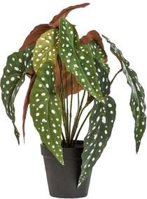 Begonia Maculata in pot - groen - 33 cm - Leen Bakker